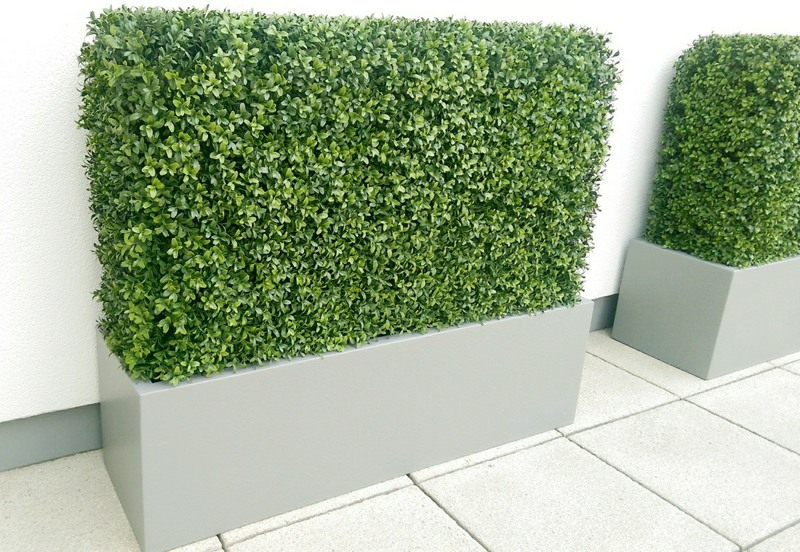 Buxus hedge in trough