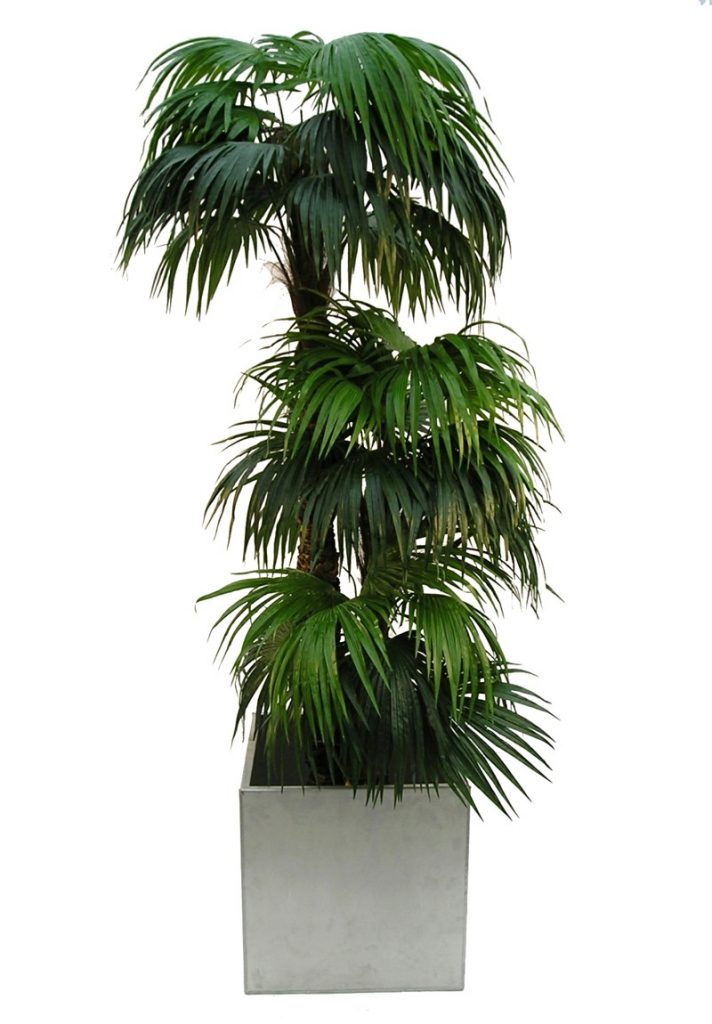 Chinese Fan Palm in galvanised planter