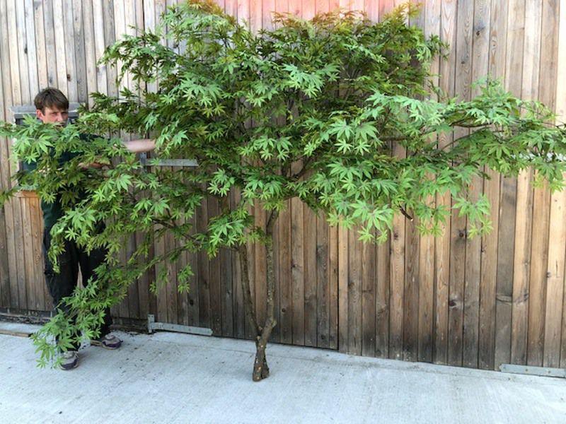 Interior Maple wall tree