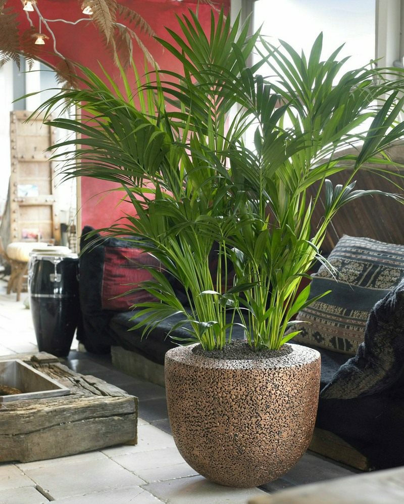 Kentia palm in Natural Trendy Seed Copper planter