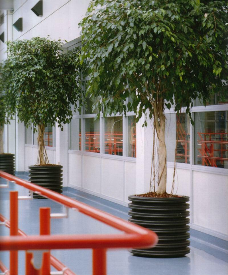 Large Ficus Exoctica trees for atrium