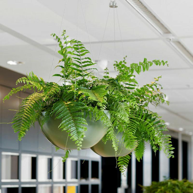 Lush hanging ferns in hanging baskets
