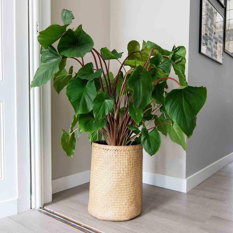 Seagrass planter kenyi set of 3