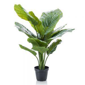fs calathea orbifolia