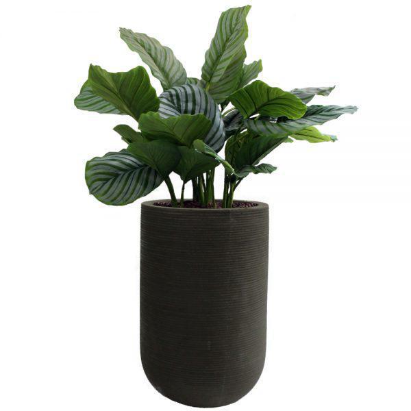 fs urban black calathea orbifolia