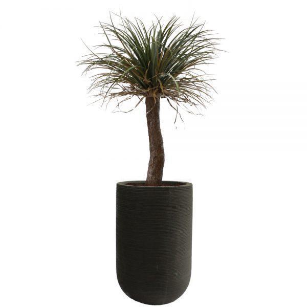 fs urban black wild yucca