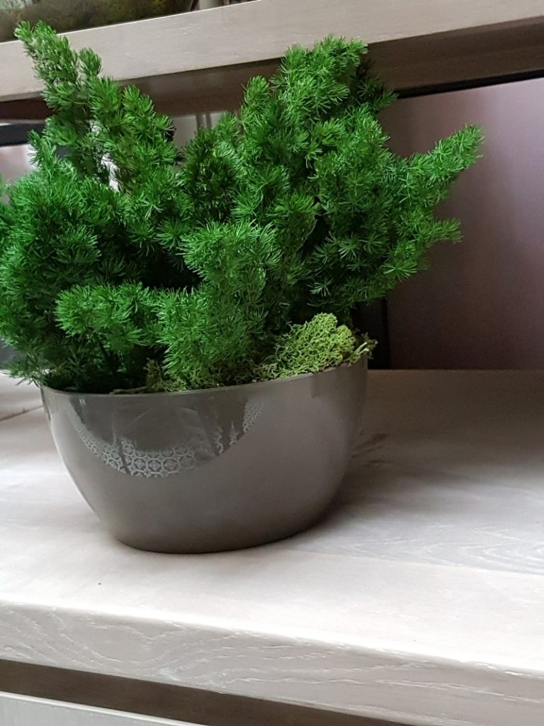 preserved Foxtail fern in plant pot