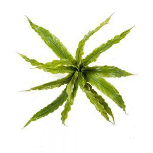 tt asplenium fern