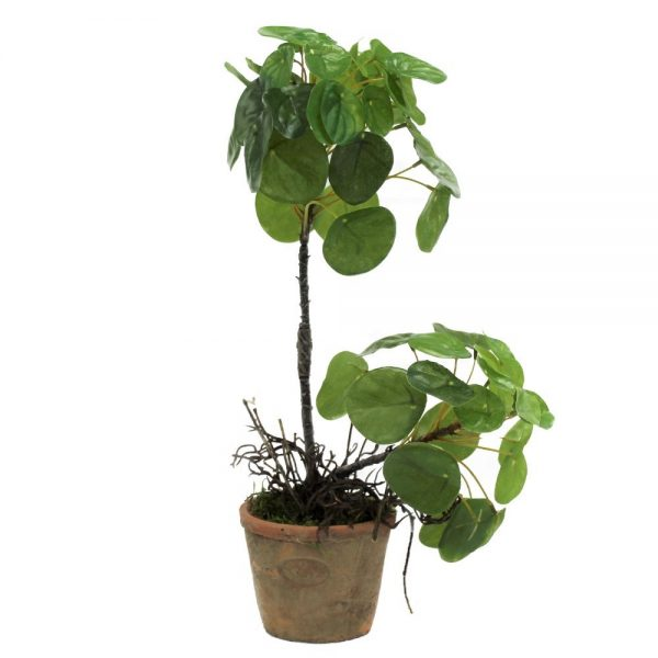 tt natural pilea with roots