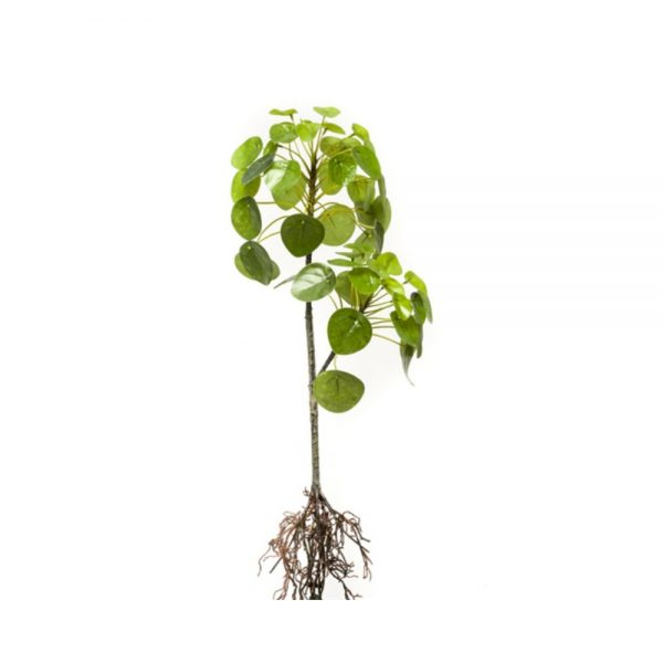 tt pilea with roots