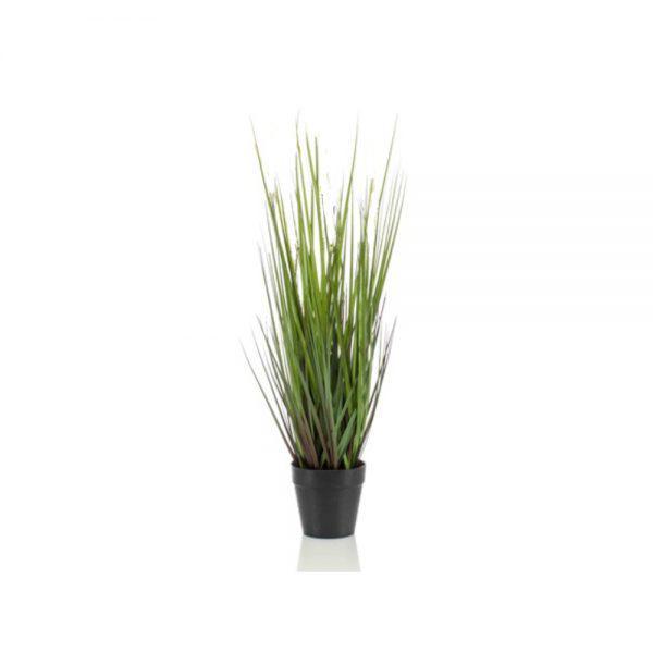 tt dogtail grass