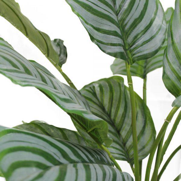 fs calathea orbifolia close