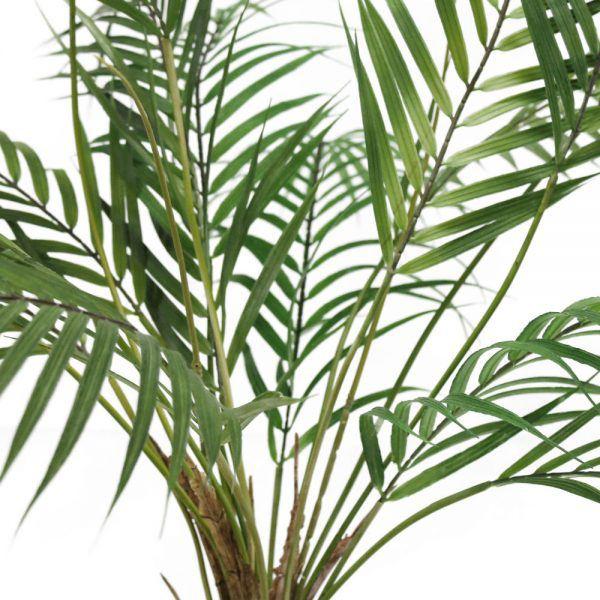 tt areca palm close