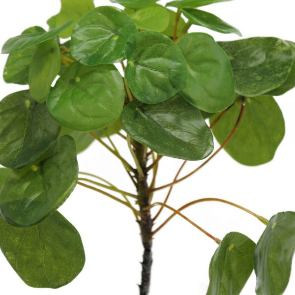 tt pilea with roots close